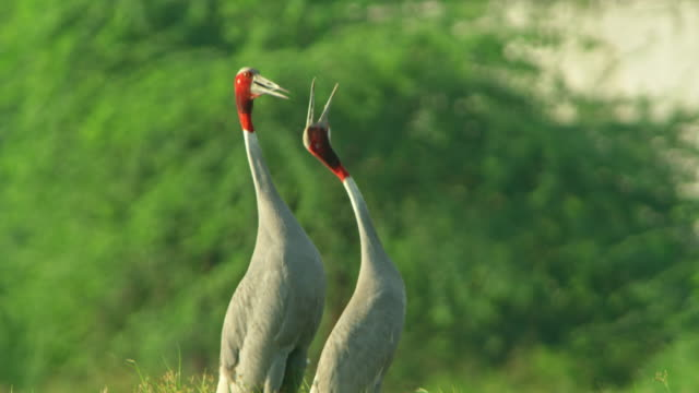 sarus crane adults - two animals stock videos & royalty-free footage