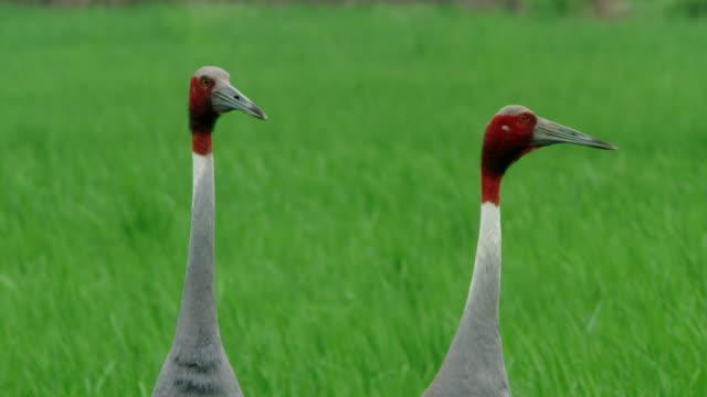 vídeos y material grabado en eventos de stock de sarus crane adults - cuello de animal
