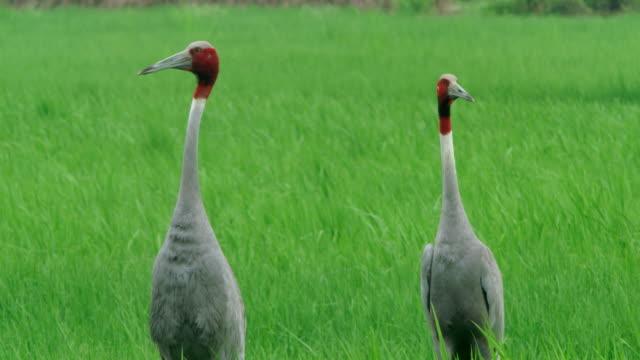 sarus crane adults - 2匹点の映像素材/bロール