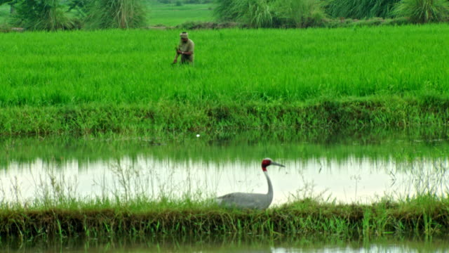 sarus crane and farmer people - bird watching stock videos & royalty-free footage