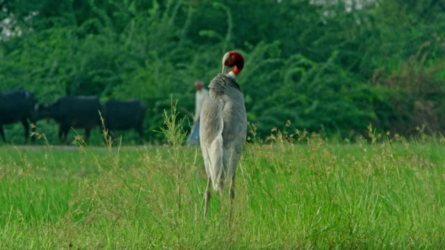 sarus crane and people - bird watching stock videos & royalty-free footage
