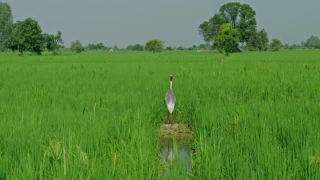 sarus crane at wetland vegetation - bird watching stock videos & royalty-free footage