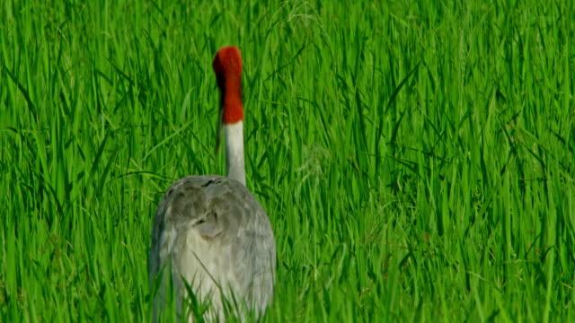 vídeos de stock, filmes e b-roll de sarus crane backside view - cabelo ruivo