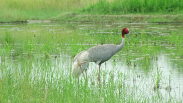 sarus crane bird - biodiversity stock videos & royalty-free footage