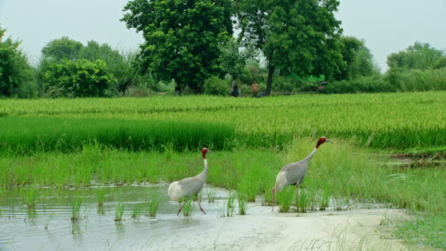 vídeos y material grabado en eventos de stock de sarus crane bird - oficio agrícola