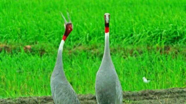 sarus crane breeding pairs - bird watching stock videos & royalty-free footage