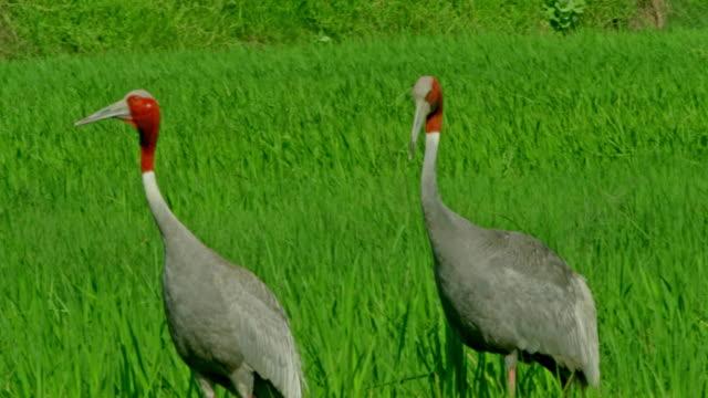 vídeos de stock, filmes e b-roll de sarus crane breeding pairs - cabelo ruivo