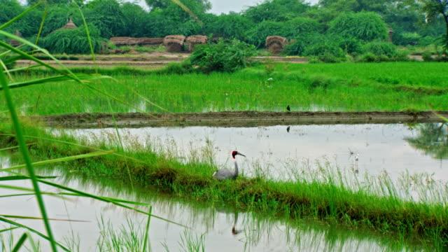 sarus crane brooding on grassy path - nasses haar stock-videos und b-roll-filmmaterial