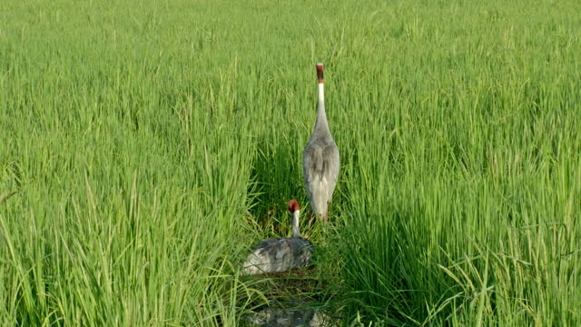 sarus crane couples in vegetation land, female brooding egg on nest and male standing nearby - trade union stock videos & royalty-free footage