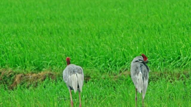 sarus crane displaying dray wings - nasses haar stock-videos und b-roll-filmmaterial