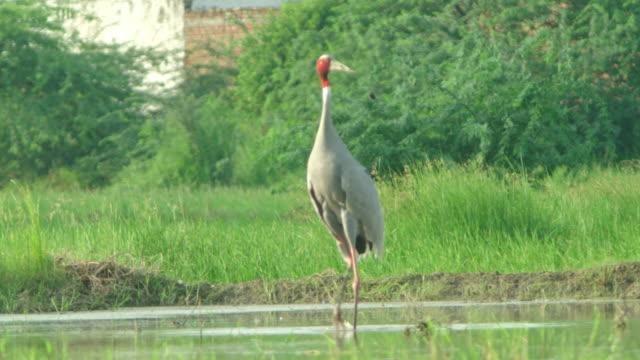 sarus crane displaying wings - bird watching stock videos & royalty-free footage