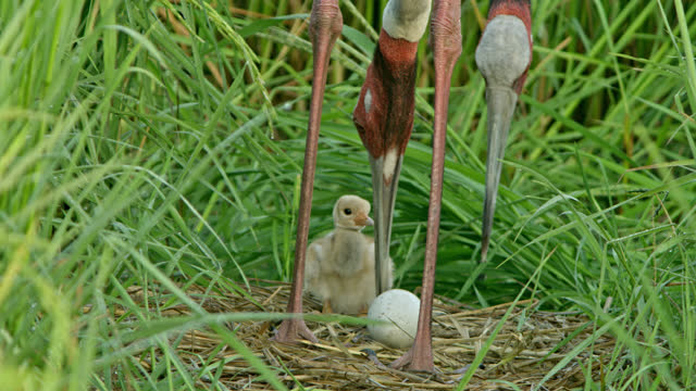 sarus crane feeding food to her baby on nest and it's pair foraging, looking for food in background. - walking in water stock videos & royalty-free footage