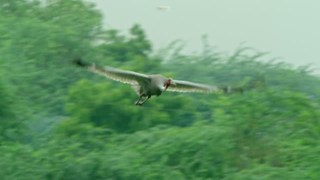 vídeos de stock, filmes e b-roll de sarus crane flying - cabelo ruivo