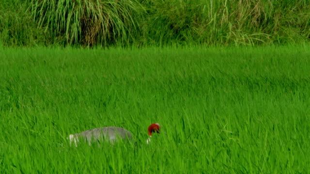 sarus crane foraging food in farmland - foraging stock videos & royalty-free footage