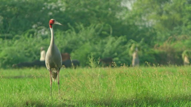 sarus crane foraging in wetland vegetation - foraging stock videos & royalty-free footage
