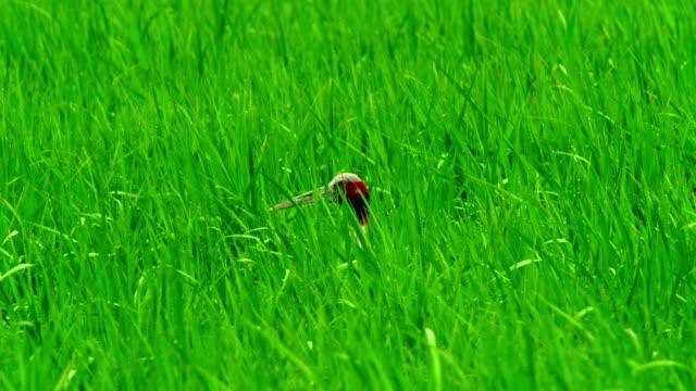 sarus crane in crop land - nasses haar stock-videos und b-roll-filmmaterial