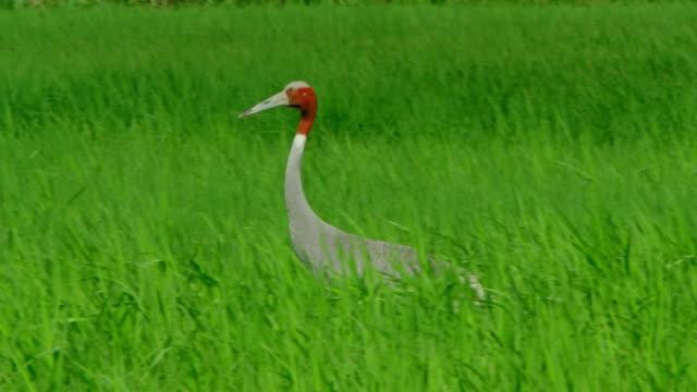 sarus crane in farmland - foraging stock videos & royalty-free footage