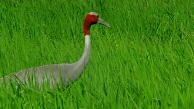 vídeos de stock, filmes e b-roll de sarus crane in farmland - cabelo ruivo