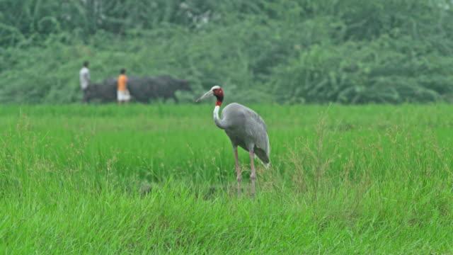 sarus crane in farmland with peoples - preening animal behavior stock videos & royalty-free footage
