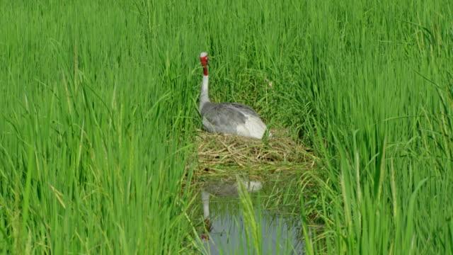 sarus crane on bulky nest - nest stock-videos und b-roll-filmmaterial
