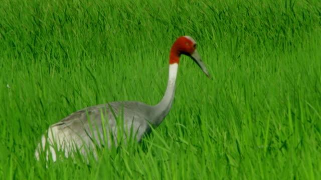 sarus crane pecking - foraging stock videos & royalty-free footage