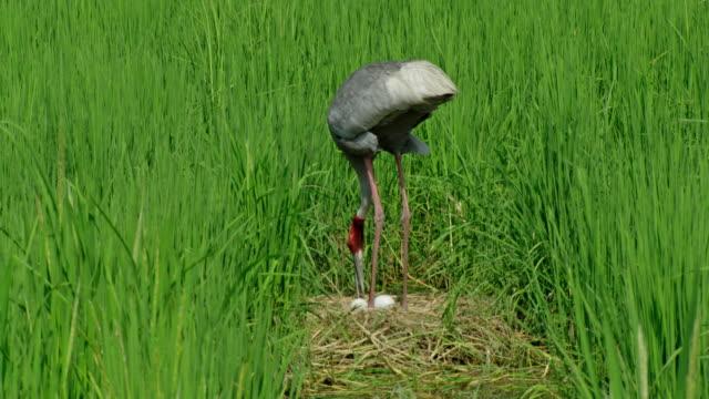 sarus crane protecting eggs - bird watching stock videos & royalty-free footage