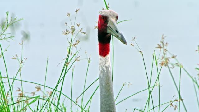 vídeos de stock, filmes e b-roll de sarus crane red naked head - cabelo ruivo