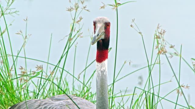 stockvideo's en b-roll-footage met sarus crane red naked head - foerageren