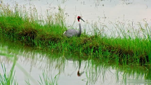 vídeos de stock, filmes e b-roll de sarus crane sitting on grassy path - cabelo ruivo