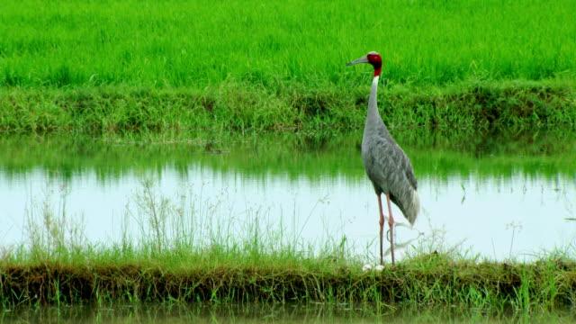 sarus crane - zoology stock videos & royalty-free footage