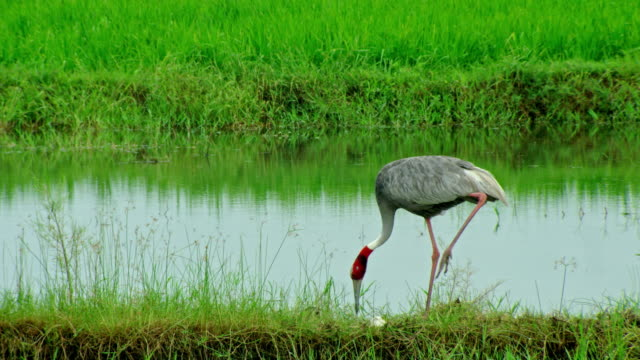 sarus crane - high speed photography stock videos & royalty-free footage