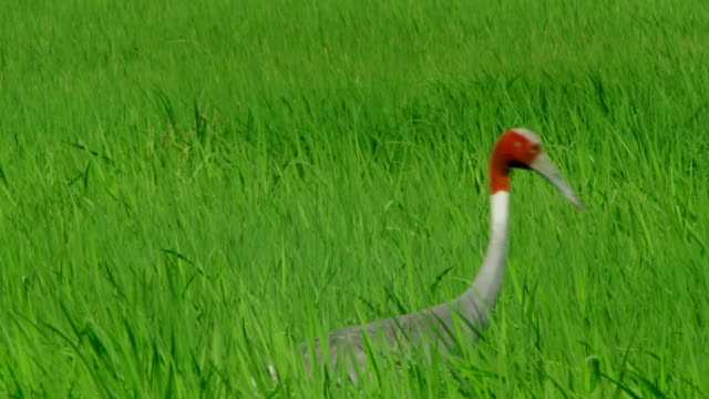 sarus crane - foraging stock videos & royalty-free footage