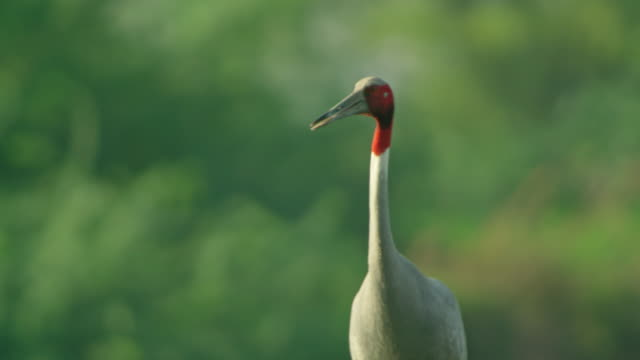 vídeos y material grabado en eventos de stock de sarus crane walking in wetland vegetation - forrajear