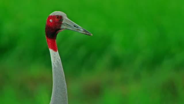 vídeos de stock, filmes e b-roll de sarus crane watching - cabelo ruivo