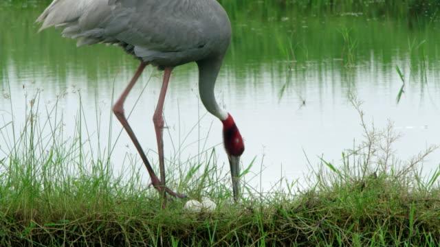 vídeos de stock, filmes e b-roll de sarus crane with eggs - cabelo ruivo