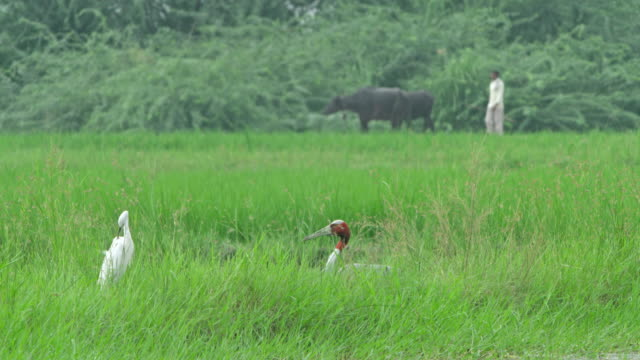 sarus crane with egret - egret stock videos & royalty-free footage