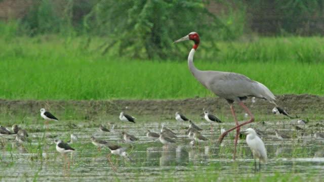 vídeos de stock, filmes e b-roll de sarus crane with other flock of birds - cabelo ruivo
