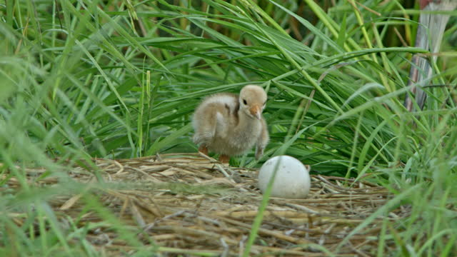 sarus crane's baby walking towards the nest and standing near the egg its mother comes in back - walking in water stock videos & royalty-free footage