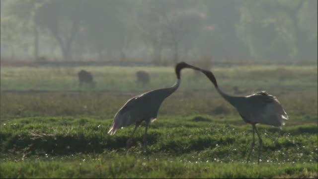 stockvideo's en b-roll-footage met sarus cranes courtship dance, chambal river, india available in hd. - dierlijk gedrag