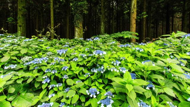 vídeos y material grabado en eventos de stock de saryeonisupgil forest and wild hydrangea flowers in jeju island - hortensia