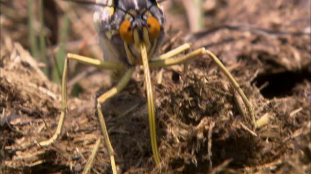 Sasakia Charonda sucking with proboscis on soil