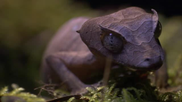 Satanic leaf tailed gecko (Uroplatus phantasticus) on forest floor, Madagascar