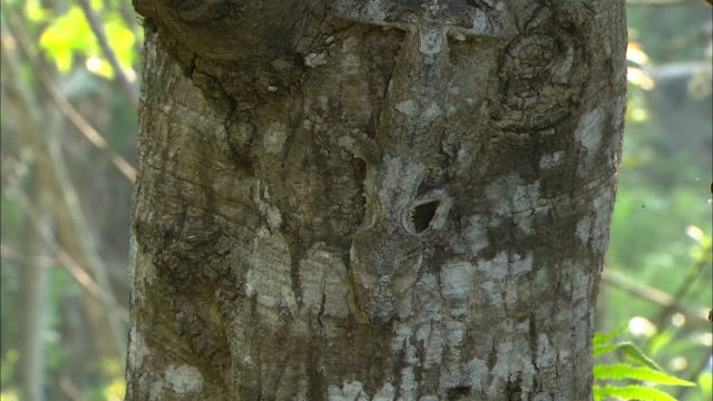 satanic leaf tailed gecko (uroplatus phantasticus) on tree - disguise stock videos & royalty-free footage