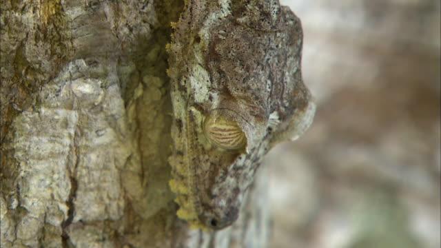 vídeos de stock, filmes e b-roll de satanic leaf tailed gecko (uroplatus phantasticus) on tree - camuflagem