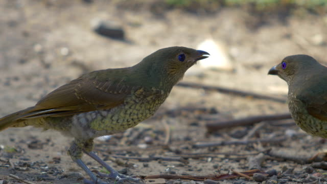 Satin Bowerbird Chick