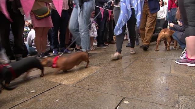 sausage dogs attend smithfield meat market 150th anniversary celebrations uk london dachshund dogs at sausage walk at smithfield meat market 150th... - itv london tonight weekend点の映像素材/bロール