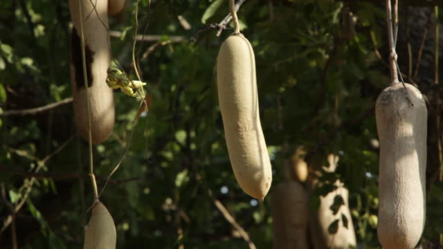 ms sausage fruit at the tree / lukuzi, eastern, zambia  - hanging stock videos & royalty-free footage