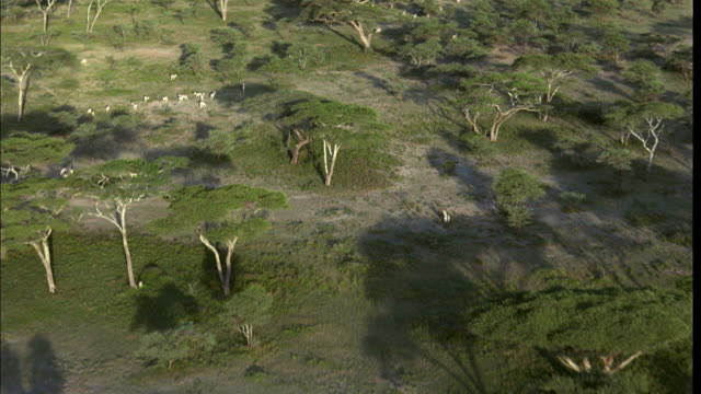 low aerial, savannah dotted with acacia trees and grazing animals, serengeti national park, tanzania - acacia tree stock videos & royalty-free footage