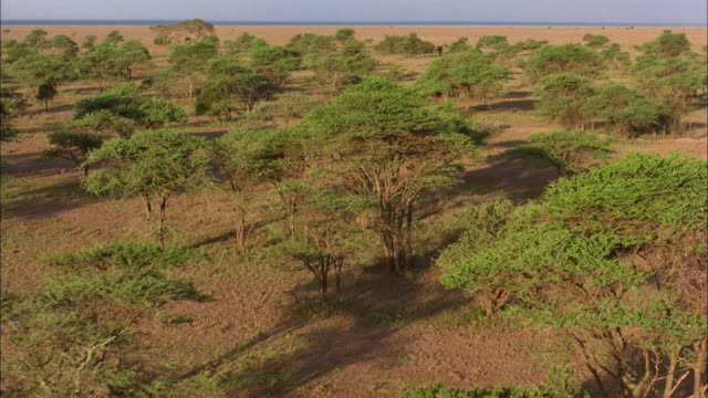 vídeos de stock e filmes b-roll de low aerial, savannah dotted with acacia trees, serengeti national park, tanzania, pan - savana