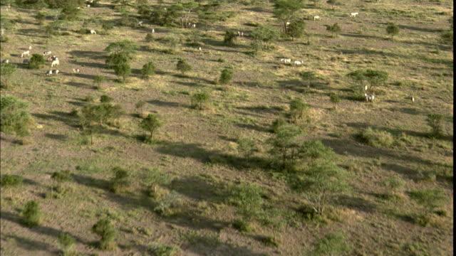 low aerial, savannah dotted with trees and animals, serengeti national park, tanzania - acacia tree stock videos & royalty-free footage